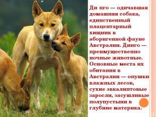 Ди нго — одичавшая домашняя собака, единственный плацентарный хищник в аборигенн