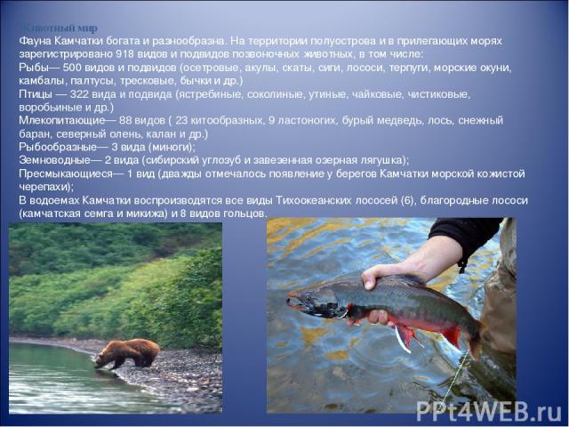 Животный мир Фауна Камчатки богата и разнообразна. На территории полуострова и в прилегающих морях зарегистрировано 918 видов и подвидов позвоночных животных, в том числе: Рыбы— 500 видов и подвидов (осетровые, акулы, скаты, сиги, лососи, терпуги, м…