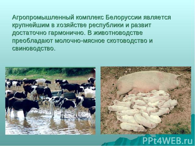 Агропромышленный комплекс Белоруссии является крупнейшим в хозяйстве республики и развит достаточно гармонично. В животноводстве преобладают молочно-мясное скотоводство и свиноводство.