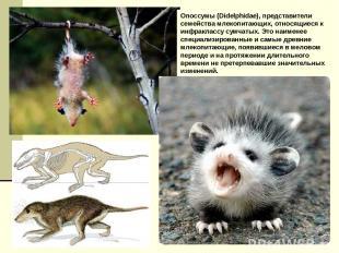 Опоссумы (Didelphidae), представители семейства млекопитающих, относящиеся к инф