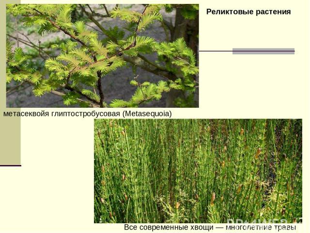 метасеквойя глиптостробусовая (Metasequoia) Все современные хвощи— многолетние травы Реликтовые растения