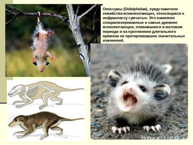 Опоссумы (Didelphidae), представители семейства млекопитающих, относящиеся к инфраклассу сумчатых. Это наименее специализированные и самые древние млекопитающие, появившиеся в меловом периоде и на протяжении длительного времени не претерпевавшие зна…