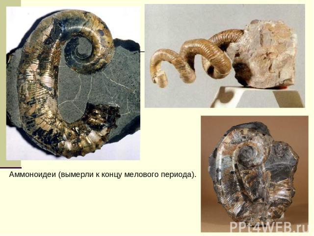 Аммоноидеи (вымерли к концу мелового периода).