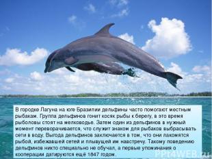 В городке Лагуна на юге Бразилии дельфины часто помогают местным рыбакам. Группа