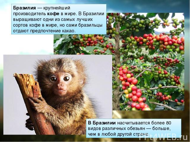 Бразилия— крупнейший производителькофев мире. В Бразилии выращивают одни из самых лучших сортов кофе в мире, но сами бразильцы отдают предпочтение какао. В Бразилиинасчитывается более 80 видов различных обезьян — больше, чем в любой другой стране.