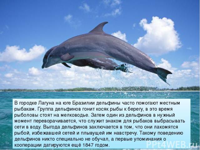 В городке Лагуна на юге Бразилии дельфины часто помогают местным рыбакам. Группа дельфинов гонит косяк рыбы к берегу, в это время рыболовы стоят на мелководье. Затем один из дельфинов в нужный момент переворачивается, что служит знаком для рыбаков в…