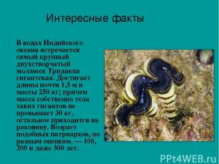 В водах Индийского океана встречается самый крупный двухстворчатый моллюск Трида