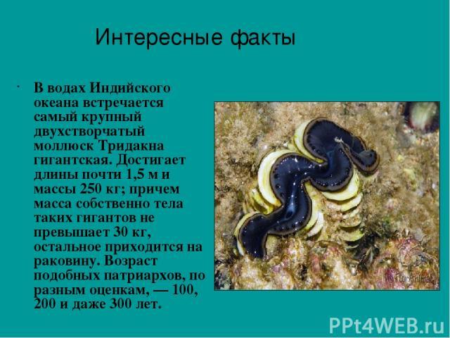 В водах Индийского океана встречается самый крупный двухстворчатый моллюск Тридакна гигантская. Достигает длины почти 1,5 м и массы 250 кг; причем масса собственно тела таких гигантов не превышает 30 кг, остальное приходится на раковину. Возраст под…