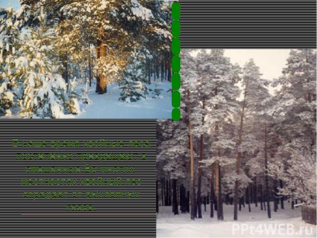 В наше время хвойные леса постепенно превращают в смешанные.Во многих местностях хвойный лес страдает от выхлопных газов.