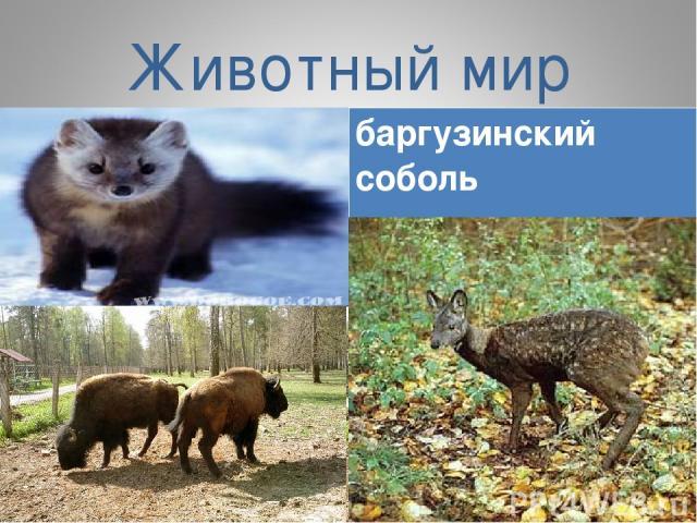 Животный мир баргузинский соболь