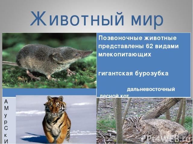 Животный мир Позвоночные животные представлены 62 видами млекопитающих гигантская бурозубка дальневосточный лесной кот А М у р С к И й тигр