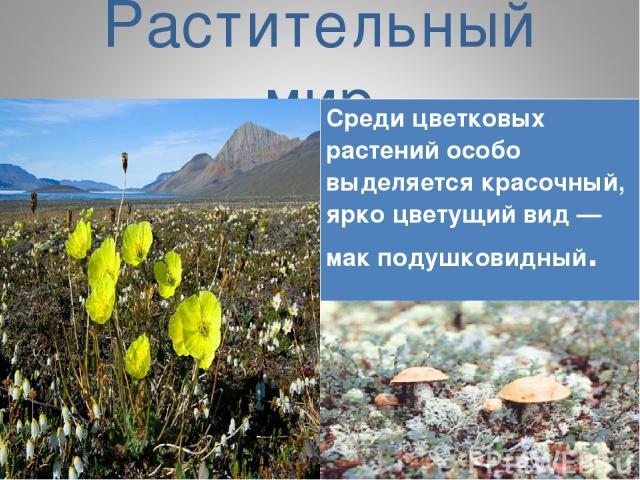 Растительный мир Среди цветковых растений особо выделяется красочный, ярко цветущий вид — мак подушковидный.