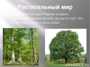 Растительный мир Территория Западной Европы покрыта широколиственными лесами, гд