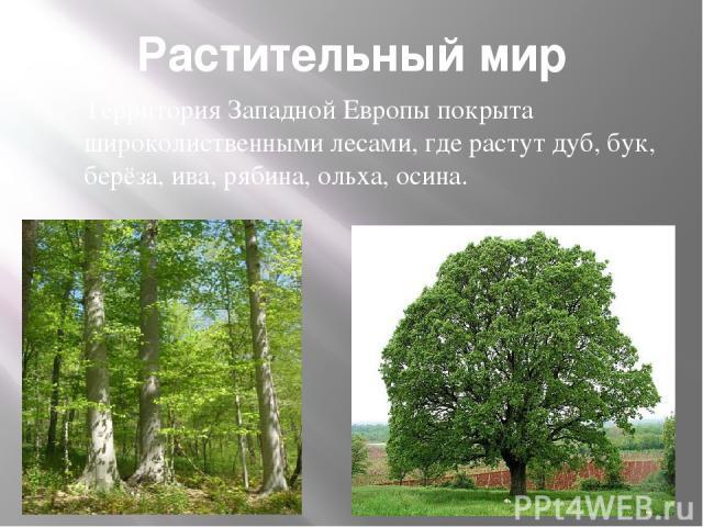 Растительный мир Территория Западной Европы покрыта широколиственными лесами, где растут дуб, бук, берёза, ива, рябина, ольха, осина.