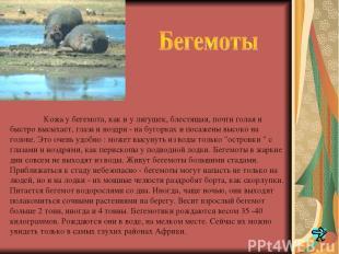 Кожа у бегемота, как и у лягушек, блестящая, почти голая и быстро высыхает, глаз