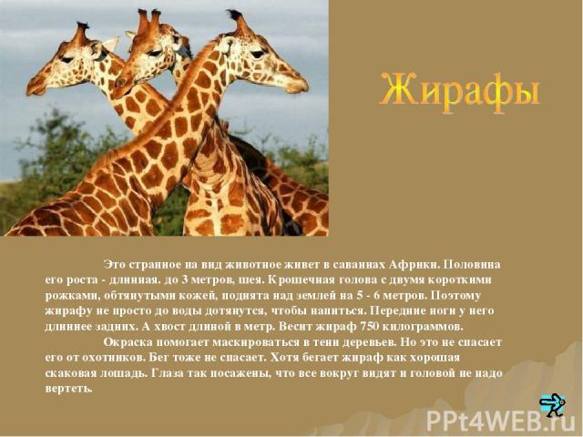 Это странное на вид животное живет в саваннах Африки. Половина его роста - длинная. до 3 метров, шея. Крошечная голова с двумя короткими рожками, обтянутыми кожей, поднята над землей на 5 - 6 метров. Поэтому жирафу не просто до воды дотянутся, чтобы…