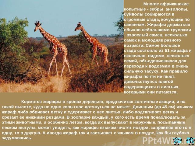 Кормятся жирафы в кронах деревьев, предпочитая зонтичные акации, и на такой высоте, куда ни одно копытное дотянуться не может. Длинным (до 45 см) языком жираф либо обвивает ветку и сдергивает с нее листья, либо подтягивает ветку и срезает ее нижними…