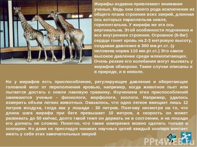 Но у жирафов есть приспособление, регулирующее давление и оберегающее головной мозг от переполнения кровью, например, когда животное пьет или пытается достать с земли лакомую травинку. Изучением этих приспособлений занимаются ученые - физиологи, мор…