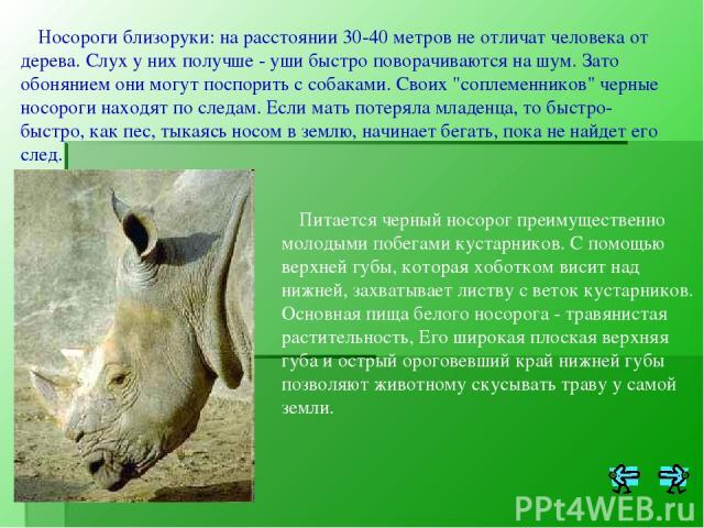 Носороги близоруки: на расстоянии 30-40 метров не отличат человека от дерева. Слух у них получше - уши быстро поворачиваются на шум. Зато обонянием они могут поспорить с собаками. Своих