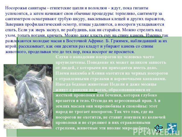 Носорожьи санитары - египетские цапли и волоклюи - ждут, пока гиганты успокоятся, а затем начинают свои обычные процедуры: терпеливо, сантиметр за сантиметром осматривают грубую шкуру, выклевывая клещей и других паразитов, Завершив профилактический …