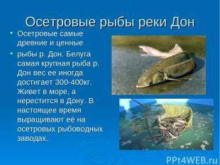 Осетровые рыбы реки Дон Осетровые самые древние и ценные рыбы р. Дон. Белуга сам