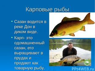 Карповые рыбы Сазан водится в реке Дон в диком виде. Карп- это одомашненный саза
