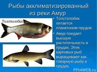 Рыбы акклиматизированный из реки Амур Толстолобик питается планктоном прудов. Ам