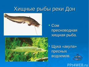 Хищные рыбы реки Дон Сом пресноводная хищная рыба. Щука «акула» пресных водоемов
