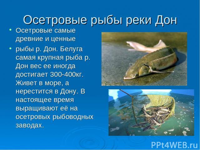 Осетровые рыбы реки Дон Осетровые самые древние и ценные рыбы р. Дон. Белуга самая крупная рыба р. Дон вес ее иногда достигает 300-400кг. Живет в море, а нерестится в Дону. В настоящее время выращивают её на осетровых рыбоводных заводах.