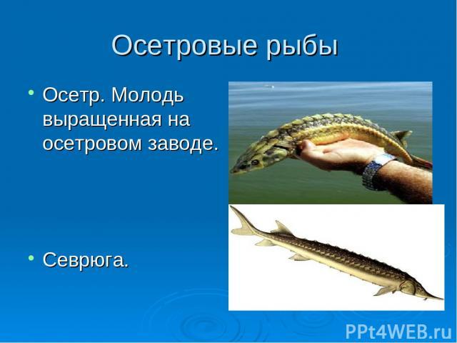 Осетровые рыбы Осетр. Молодь выращенная на осетровом заводе. Севрюга.
