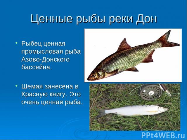 Ценные рыбы реки Дон Рыбец ценная промысловая рыба Азово-Донского бассейна. Шемая занесена в Красную книгу. Это очень ценная рыба.