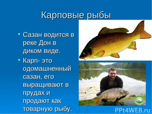 Карповые рыбы Сазан водится в реке Дон в диком виде. Карп- это одомашненный сазан, его выращивают в прудах и продают как товарную рыбу.