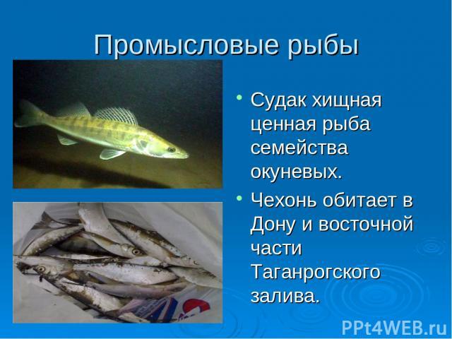Промысловые рыбы Судак хищная ценная рыба семейства окуневых. Чехонь обитает в Дону и восточной части Таганрогского залива.