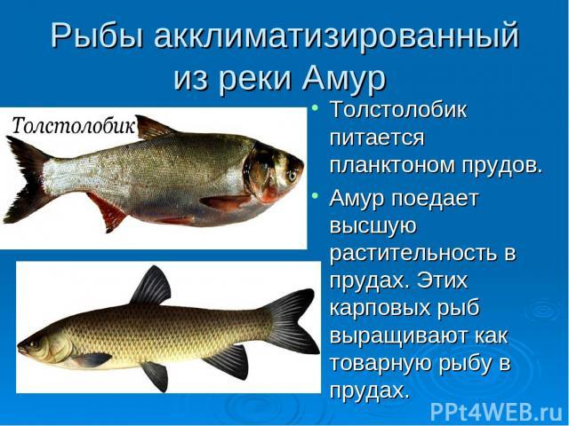 Рыбы акклиматизированный из реки Амур Толстолобик питается планктоном прудов. Амур поедает высшую растительность в прудах. Этих карповых рыб выращивают как товарную рыбу в прудах.