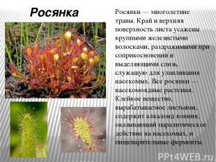 Росянка Росянки — многолетние травы. Край и верхняя поверхность листа усажены кр