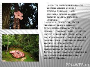 Насекомых - опылителей цветки привлекают видом и запахом разлагающегося мяса, за