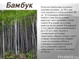 Бамбук Почти все бамбуковые достигают огромных размеров - до 38 м, при этом окру