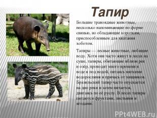 Тапир Тапиры — лесные животные, любящие воду. Хотя они часто живут в лесах на су