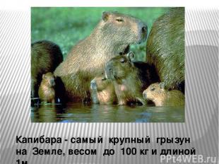 Капибара - самый крупный грызун на Земле, весом до 100 кг и длиной 1м