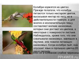 Колибри кормятся на цветах. Прежде полагали, что колибри питаются только нектаро