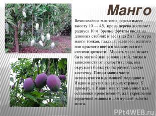 Манго Вечнозелёное манговое дерево имеет высоту 10 — 45, крона дерева достигает