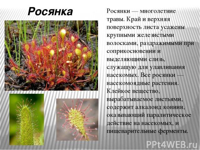 Росянка Росянки — многолетние травы. Край и верхняя поверхность листа усажены крупными железистыми волосками, раздражимыми при соприкосновении и выделяющими слизь, служащую для улавливания насекомых. Все росянки — насекомоядные растения. Клейкое вещ…