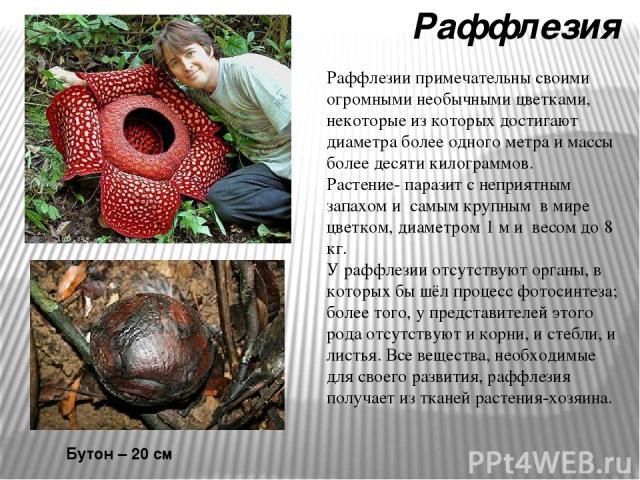Раффлезия Бутон – 20 см Раффлезии примечательны своими огромными необычными цветками, некоторые из которых достигают диаметра более одного метра и массы более десяти килограммов. Растение- паразит с неприятным запахом и самым крупным в мире цветком,…
