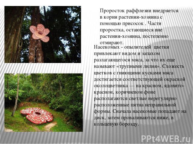 Насекомых - опылителей цветки привлекают видом и запахом разлагающегося мяса, за что их еще называют «трупными лилия». Схожесть цветков с гниющими кусками мяса достигается соответствующей окраской околоцветника — на красном, ядовито-красном, коричне…