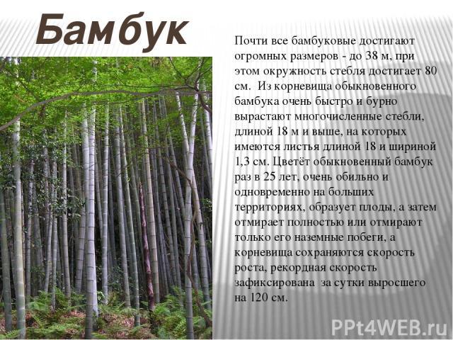 Бамбук Почти все бамбуковые достигают огромных размеров - до 38 м, при этом окружность стебля достигает 80 см. Из корневища обыкновенного бамбука очень быстро и бурно вырастают многочисленные стебли, длиной 18 м и выше, на которых имеются листья дли…