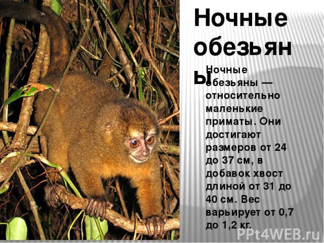 Ночные обезьяны Ночные обезьяны — относительно маленькие приматы. Они достигают размеров от 24 до 37 см, в добавок хвост длиной от 31 до 40 см. Вес варьирует от 0,7 до 1,2 кг.