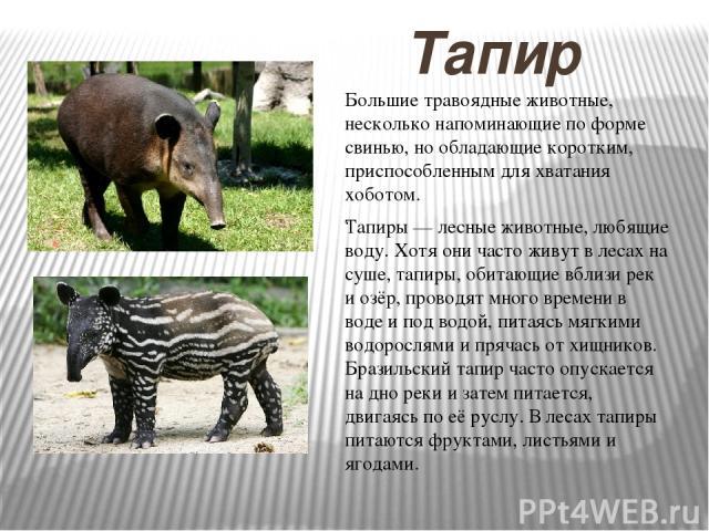 Тапир Тапиры — лесные животные, любящие воду. Хотя они часто живут в лесах на суше, тапиры, обитающие вблизи рек и озёр, проводят много времени в воде и под водой, питаясь мягкими водорослями и прячась от хищников. Бразильский тапир часто опускается…