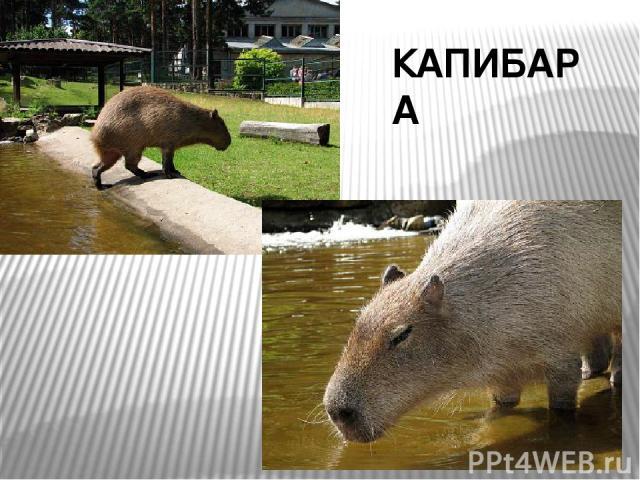КАПИБАРА