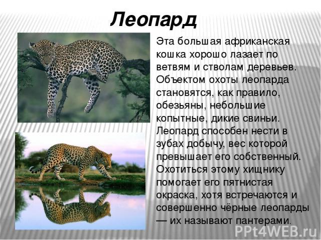 Эта большая африканская кошка хорошо лазает по ветвям и стволам деревьев. Объектом охоты леопарда становятся, как правило, обезьяны, небольшие копытные, дикие свиньи. Леопард способен нести в зубах добычу, вес которой превышает его собственный. Охот…