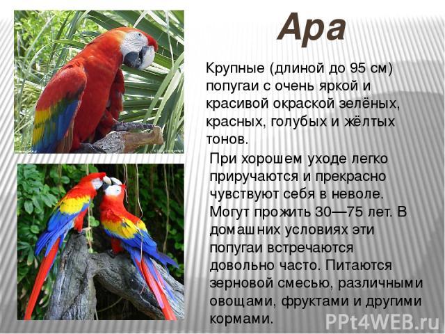 Ара Крупные (длиной до 95 см) попугаи с очень яркой и красивой окраской зелёных, красных, голубых и жёлтых тонов. При хорошем уходе легко приручаются и прекрасно чувствуют себя в неволе. Могут прожить 30—75 лет. В домашних условиях эти попугаи встре…